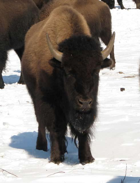 10 Bison sex and age quiz Bull Yearling Bull (at end of winter)