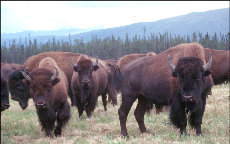 8 Bison sex and age quiz Cow Cow Bull Middle-Aged Cow Small horn bases. Horns are L shaped. Very narrow head.