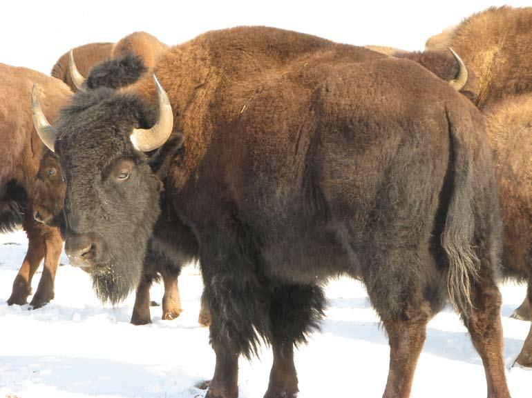 14 Bison sex and age quiz Bull
