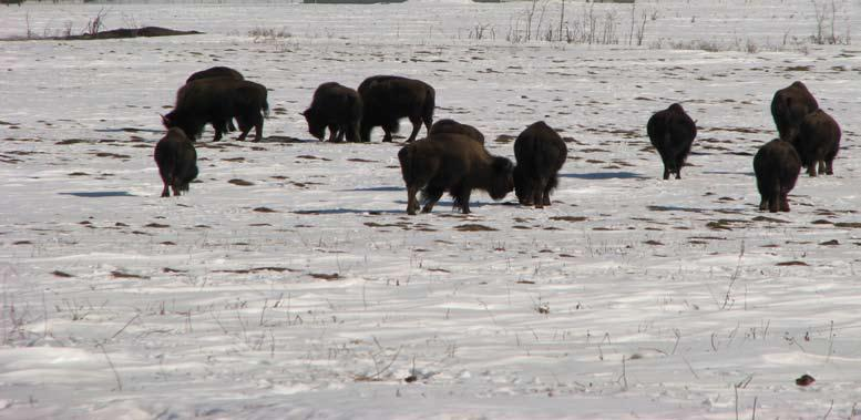 Bison sex and age quiz Sometimes it is just not realistic to determine the sex of a bison. Take your time, be patient, get into a better position, and utilize all the characteristics.