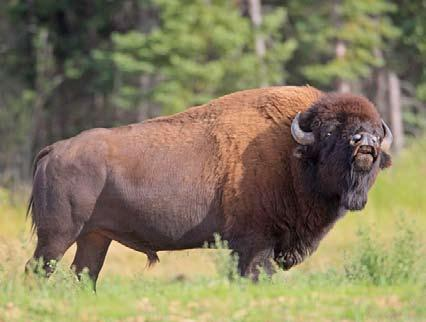 Bison Identification Guide Hunting bison is more difficult than most hunters realize. Every year the hunt of a lifetime is ruined for someone because they shoot the wrong animal.