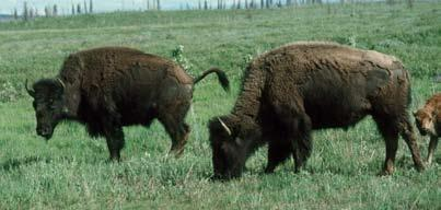 Female Bison Characteristics Penis Sheath: Females do not have one.