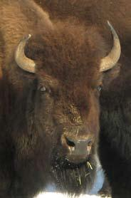 Horn Bases: Smaller bases than bulls. Yearling bases about 2 diameter. Mature bases about 2 to 2-1/2 diameter.
