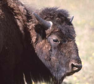 * * In the Delta bison herd you don t see many bulls with C shaped horns