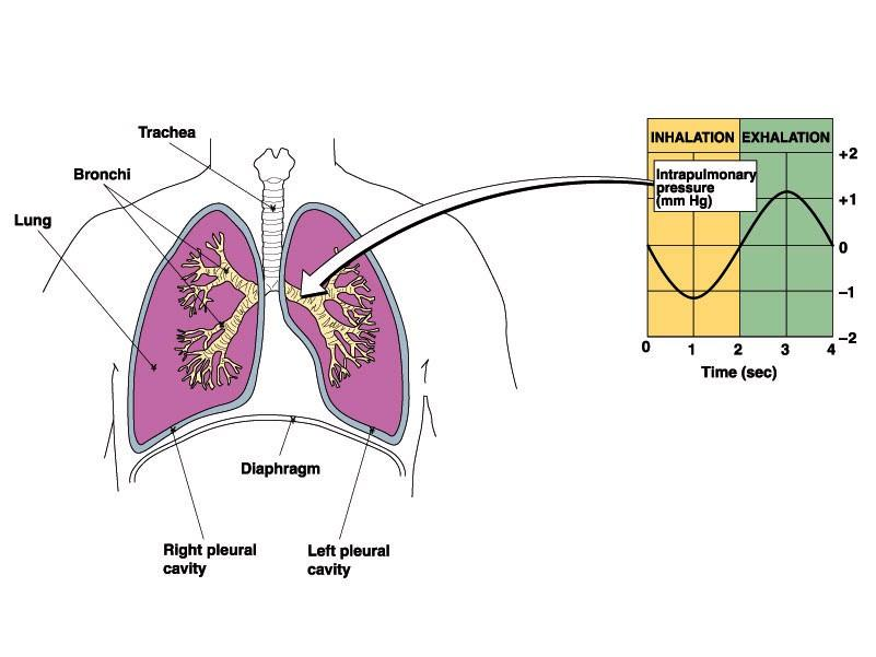 Transpulmonary Air Pressures The images below show what happens to air pressure in the lungs during inhalation and exhalation.