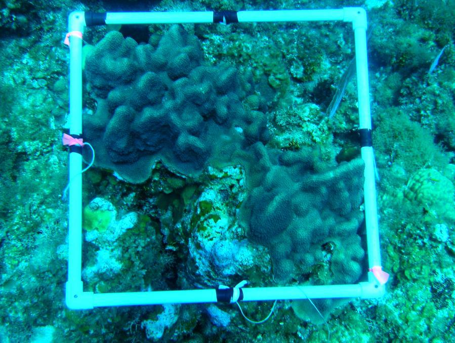 The reef coral and macroalgal cover will be evaluated along three (3) 30m transects at each station.