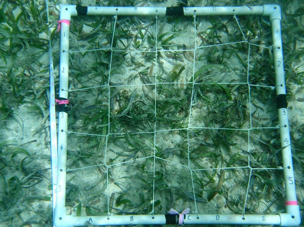 Figure 6: 0.5m x 0.5m Quadrat Visual estimates will be done for Thallassia testudinum, Syringodium filiforme, Halimeda spp., Caulerpa sp.