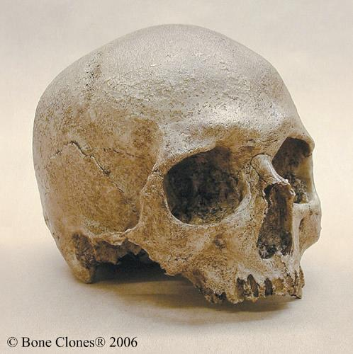Sapiens Discovered in 2003 95-13 kya Height: 1M Brain size: