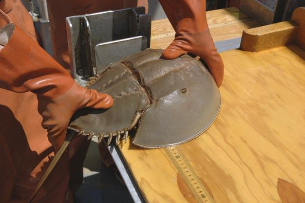 Horseshoe crabs are not actually a true crab like other invertebrates in the subphylum Crustacea and they are more closely