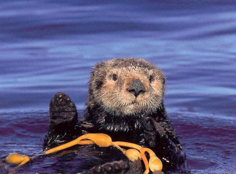Search for the missing sea otters