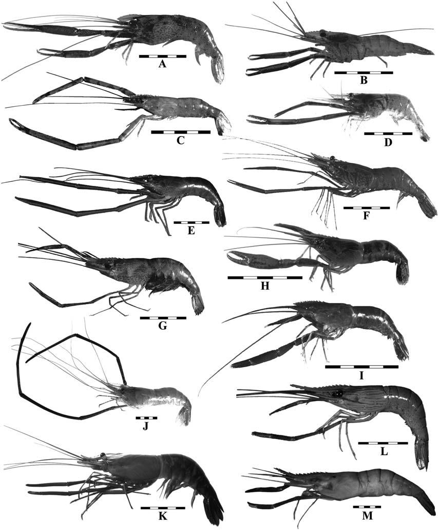 90 Figure 36. Chromatophore patterns of Australian Macrobrachium. (A) M. koombooloomba sp. nov., QM W18128, developed male paratype, (B) M. bullatum Fincham, 1989, developed male, Litchfield N.P., N.
