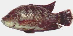 Background 1. Many tilapia species and H1 hybrids had been tested in saline environments in the 80 s and 90 s: - West African coastal lakes (CIRAD).