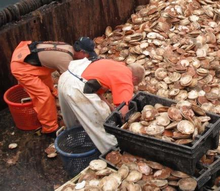 Accountability in the Sea Scallop Fishery Target Species