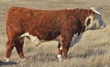 8 AGA 22B MISS BRIGADER 511E WW 43 AGA 13G GENERAL 114L YW 65 AGA 114L MISS GENERAL 77W AGA 97G MISS HOT SHOT 82J M 15 Herd sire from Ulrich Herefords in Canada, 101Z was added to our program for the