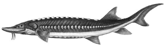 Appendix 1.3 - The White Sturgeon: Dinosaurs of the Fraser River The white sturgeon is the largest freshwater fish in North America, and one of five different types of sturgeon in Canada.