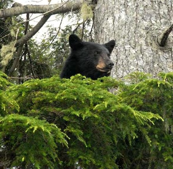 Any waivers of tag fees must be approved by the Quinault Business Committee prior to the scheduled guided hunt date, after submitting a completed Quinault Nation Official Request for Promotional Bear