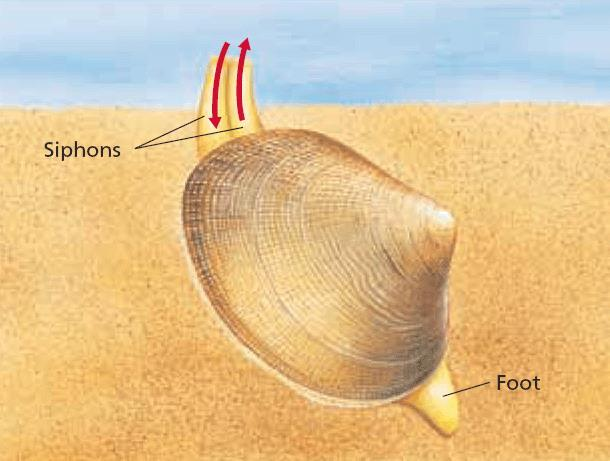 Bivalves Most are marine Oysters, mussels, and clams Important food source for humans Have a two-part hinged shell Valves are secreted by the mantle Two thick muscles called the adductor muscles