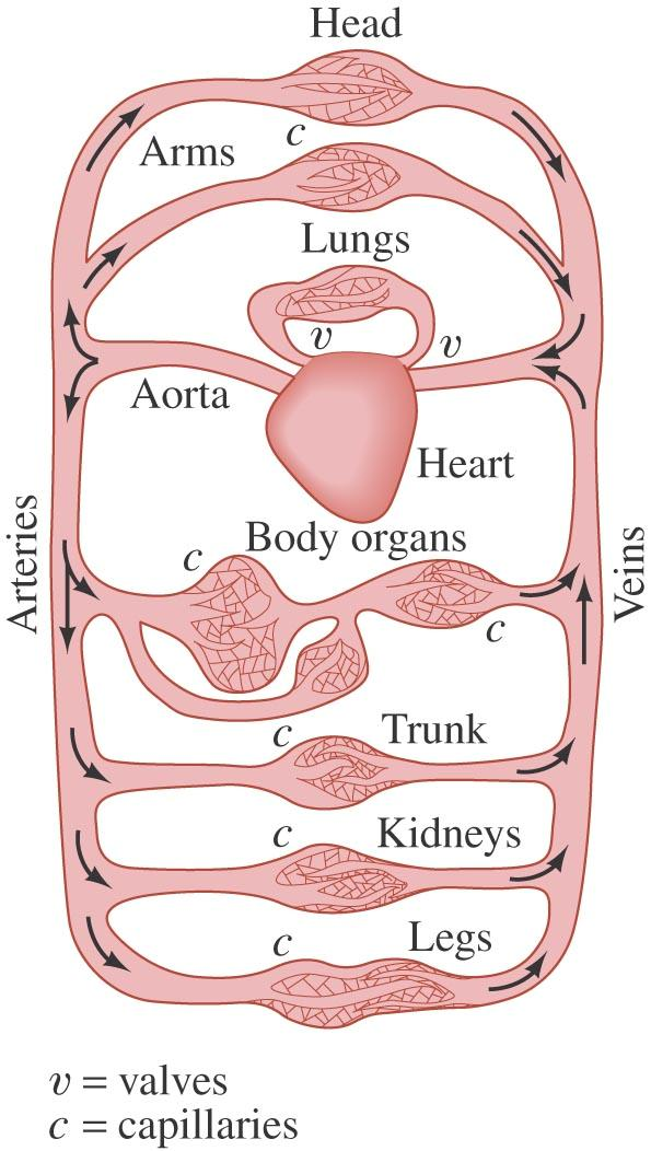 13-8 Fluids in Motion; Flow Rate and the Equation of Continuity Example 13-13: Blood flow. In humans, blood flows from the heart into the aorta, from which it passes into the major arteries.