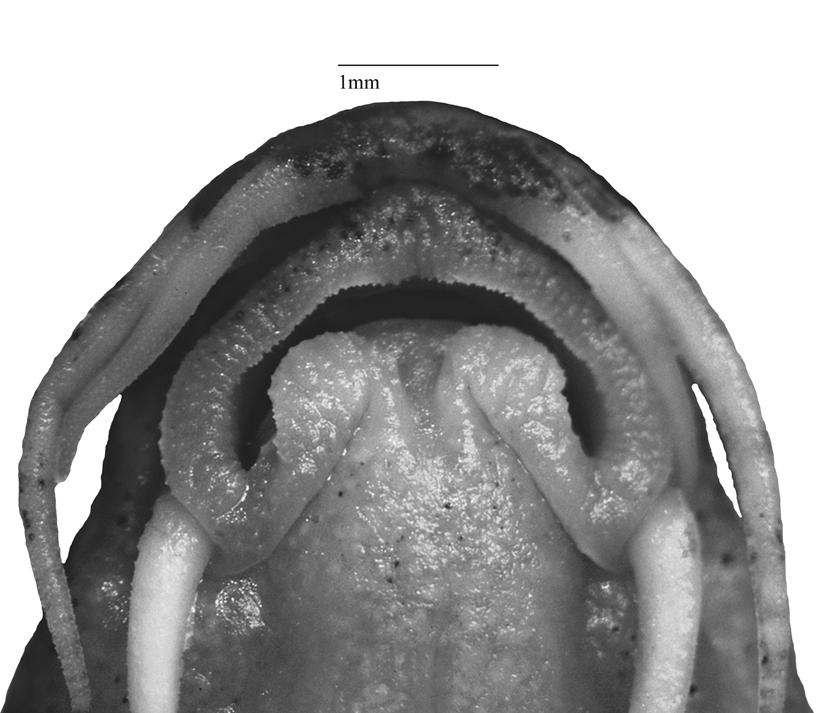 FIGURE 2. Lip structure of Physoschistura dikrongensis, MUMF 11091/3. Scale bar = 1 mm. Sexual dimorphism. Male with prominent spoon-shaped suborbital flap (Fig. 4). Color.