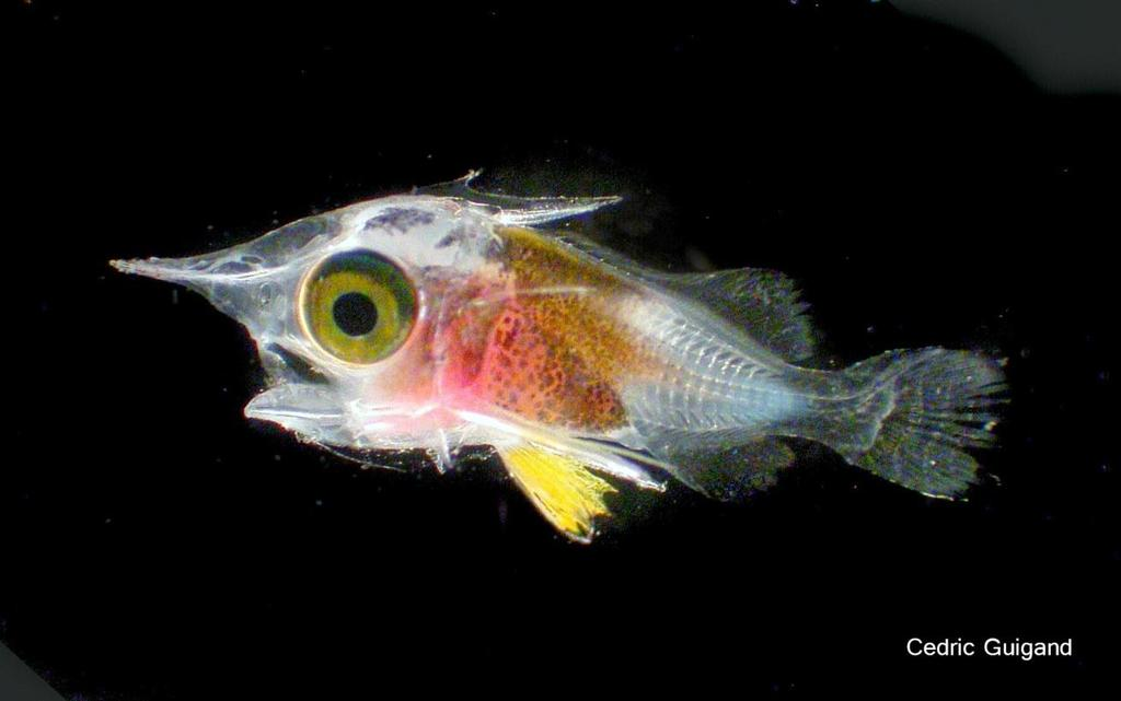 Squirrelfish,
