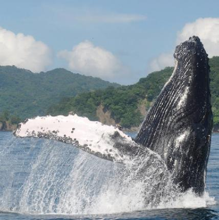 WHALE WATCHING BOAT TOUR PRICE: $70 adults, $35 children under 10 LEAVES FROM: Playa Uvita,