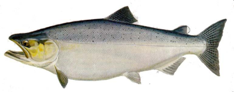 2016 Fraser River Chinook Key Information