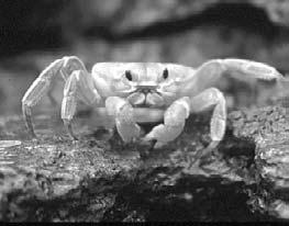 But because they are mobile, they can seek shelter from the air, sun, and predators. A crab on the move Anemones need moisture to survive.