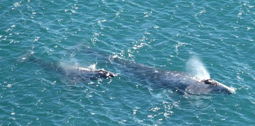 Gray Whale Reproduction: Sexual maturity between 6 to 12 years of age