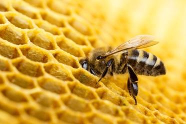 It is like a straw that sucks the nectar out of the flower. Then they store the nectar in their throat. Bees take the nectar back to their hive. They turn it into honey. 3 Bees have another job.