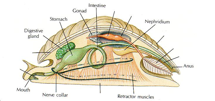 Primitive Molluscan Body Plan Unsegmented, coelomate Coelom limited to small spaces around nephridia, heart, and intestine Principal body cavity is a hemocoel (open circulatory system) Large,