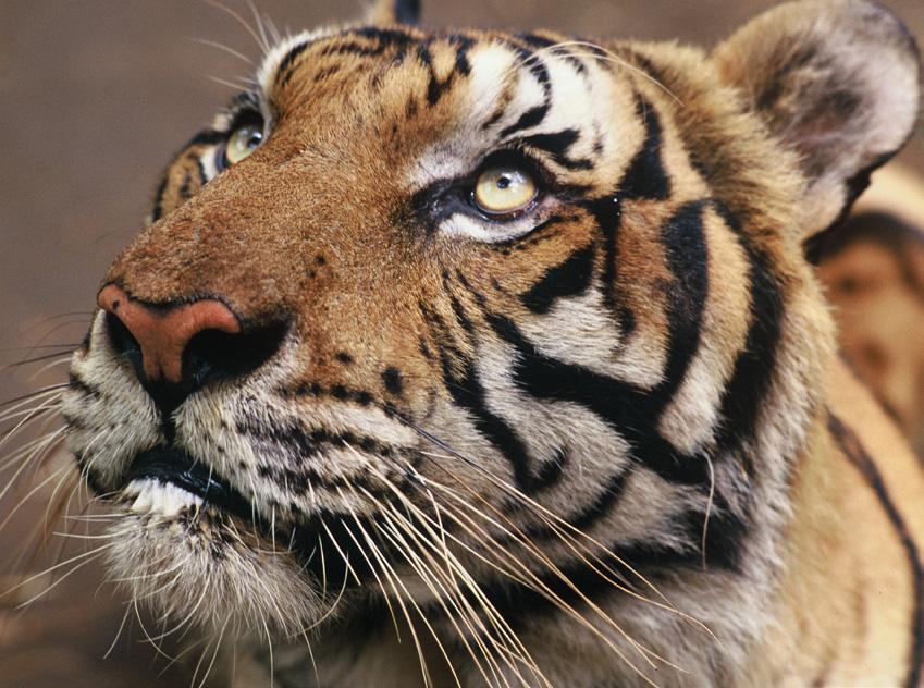 TIGERS For the first time in 100 years, the number of wild tigers is on the rise! According to the most recent data, around 3,890 tigers now exist in the wild up from an estimated 3,200 in 2010.