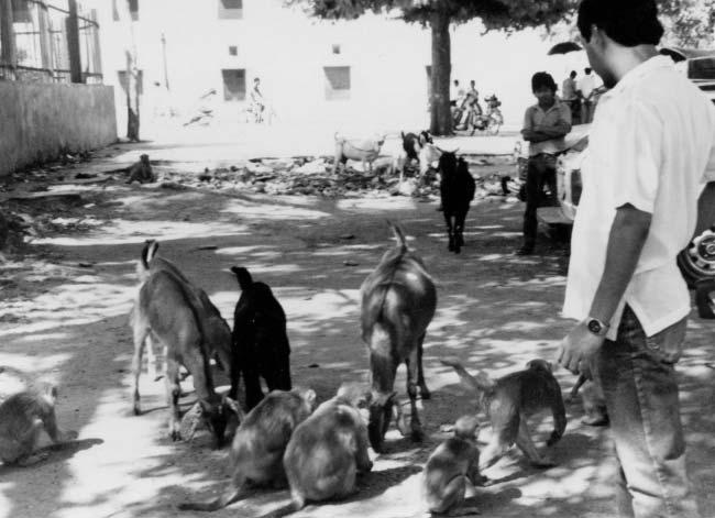 Macaques of India and Florida 317 Figure 15.1. A devotee feeding the monkeys in Jaipur, India. Local goats also eat the food given to monkeys. city monkeys in the tourist temple complex or vice versa.
