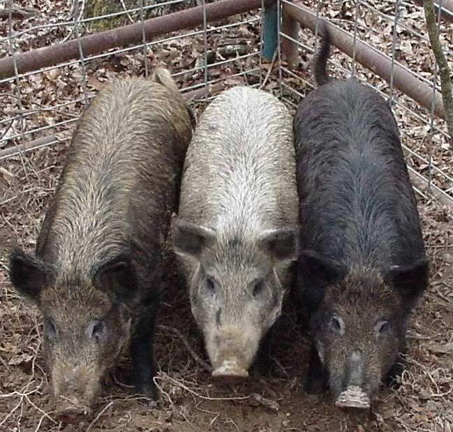 Operational Procedures Feral Hog Hunting, 2004 Fort Leonard Wood, MO Feral hogs are not regulated as a game animal in the state of Missouri and they may be taken in any number throughout the year.