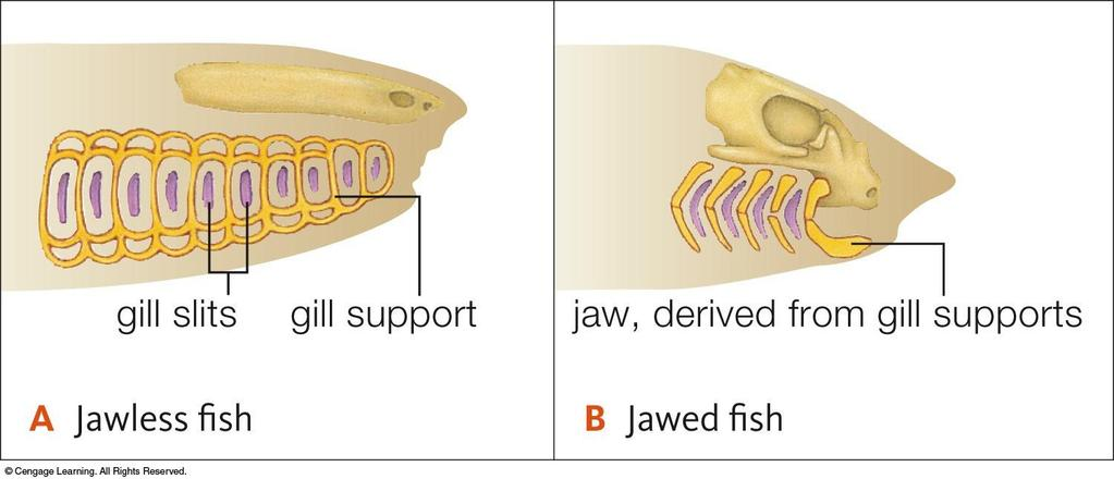 Evolution of the jaws Hypothesis: jaws
