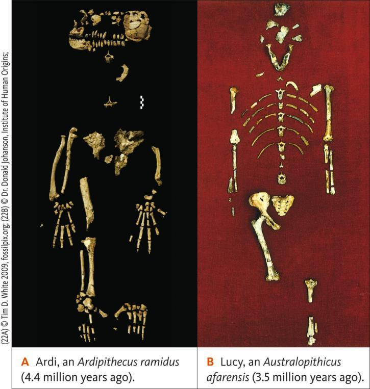 Early Hominins Sahelanthropus tchadensis may be the oldest hominin (7 mya)