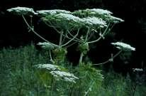 The sap of giant hogweed is dangerous to people as it can cause severe skin blisters and therefore its presence along river bank