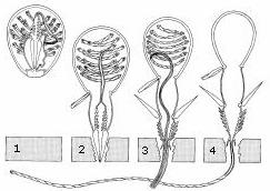 Nematocyst discharge: (1) A dormant nematocyst (2) discharges its stinging apparatus in response to nearby
