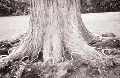 DO NOT treat trees with significant rot or girdling roots. Inspect canopy for significant canopy die back or stress. This may compromise uptake time and distribution. Fig.