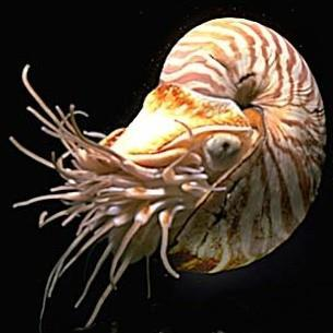 Cephalopoda: Chambered Nautilus Has a coiled external shell.