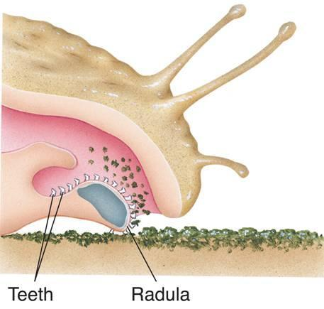 Snails and slugs feed using a flexible, tongueshaped structure known as a radula.