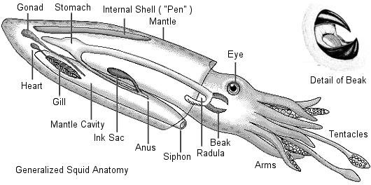 Types of Molluscs Cephalopods Well developed eyes Thick mantle covers the