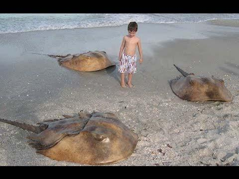 Types of Marine Arthropods Horseshoe crabs- 5 pairs of legs, first pair modified in males for reproduction