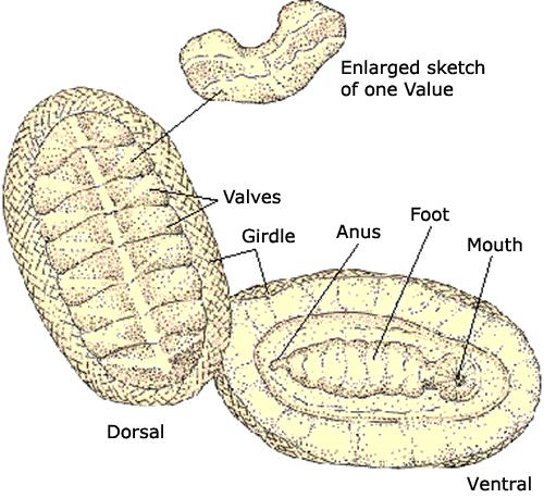 Types of Molluscs Chitins 800 species All marine Dorsal shell of 8 plates. Ventral muscular foot.