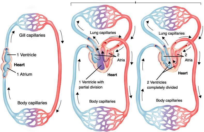 Vertebrate circulatory systems Chordate circulatory systems range from a single loop system (found in organisms with gills) to double loop systems.