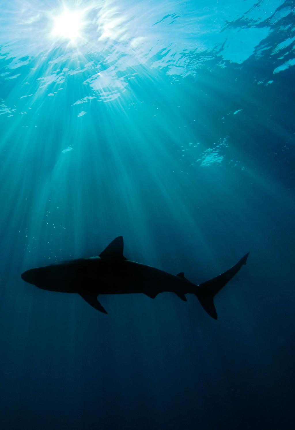 WORKING TOGETHER TO CONSERVE SHARKS AND RAYS SHARKS: RESTORING THE