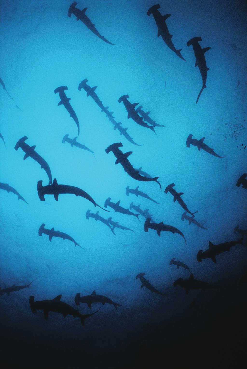 Sharks and rays facts 100M It is estimated that over 100 million sharks are killed annually, with around 10 million of those being blue sharks killed for their fins only 400M The first great sharks