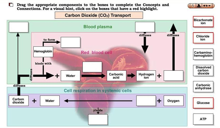 Activity 6: Carbon Dioxide Transport Function > Do > Interactive Concepts and Connections: Carbon Dioxide Transport 1. In what three forms is CO2 carried in the blood? 2.