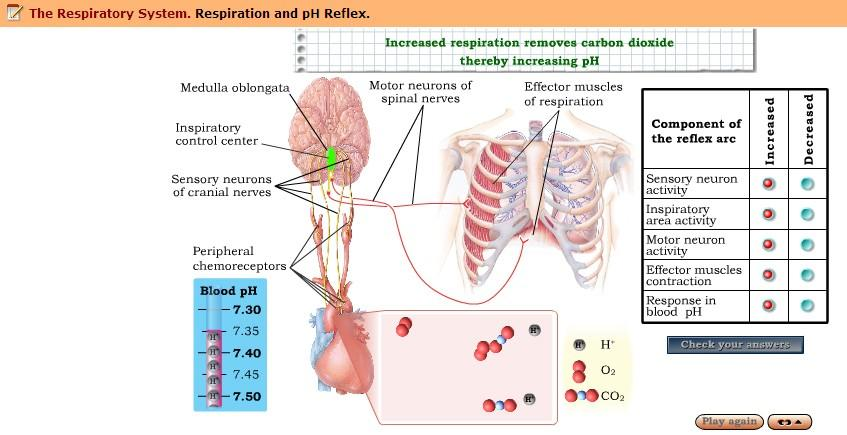 Activity 7: ph Reflex Function > Do > Interactive Exercise: Respiration and ph Reflex 1. Why does a low blood ph increase ventilation? 2.