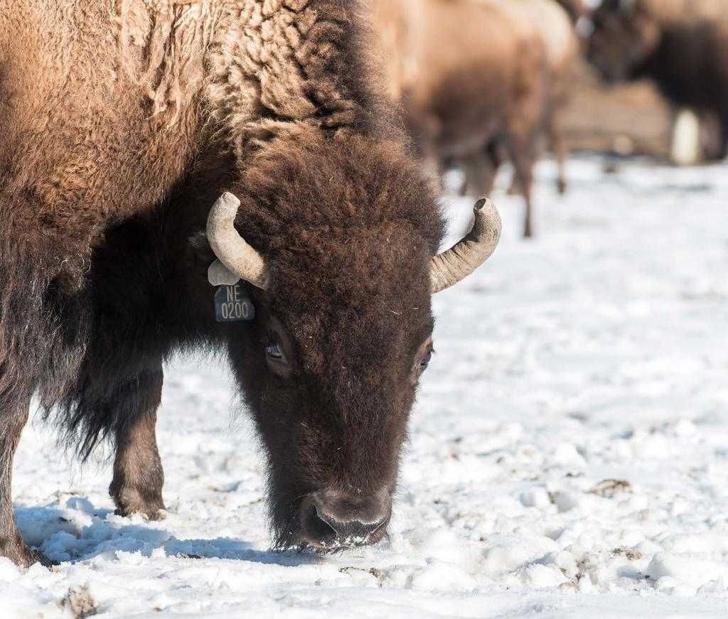 PRESERVING AN ICON FOR MILLENNIA, AMERICAN BISON HERDS ROAMED THE GREAT PLAINS BY THE MILLIONS UNTIL OVERHUNTING DROVE