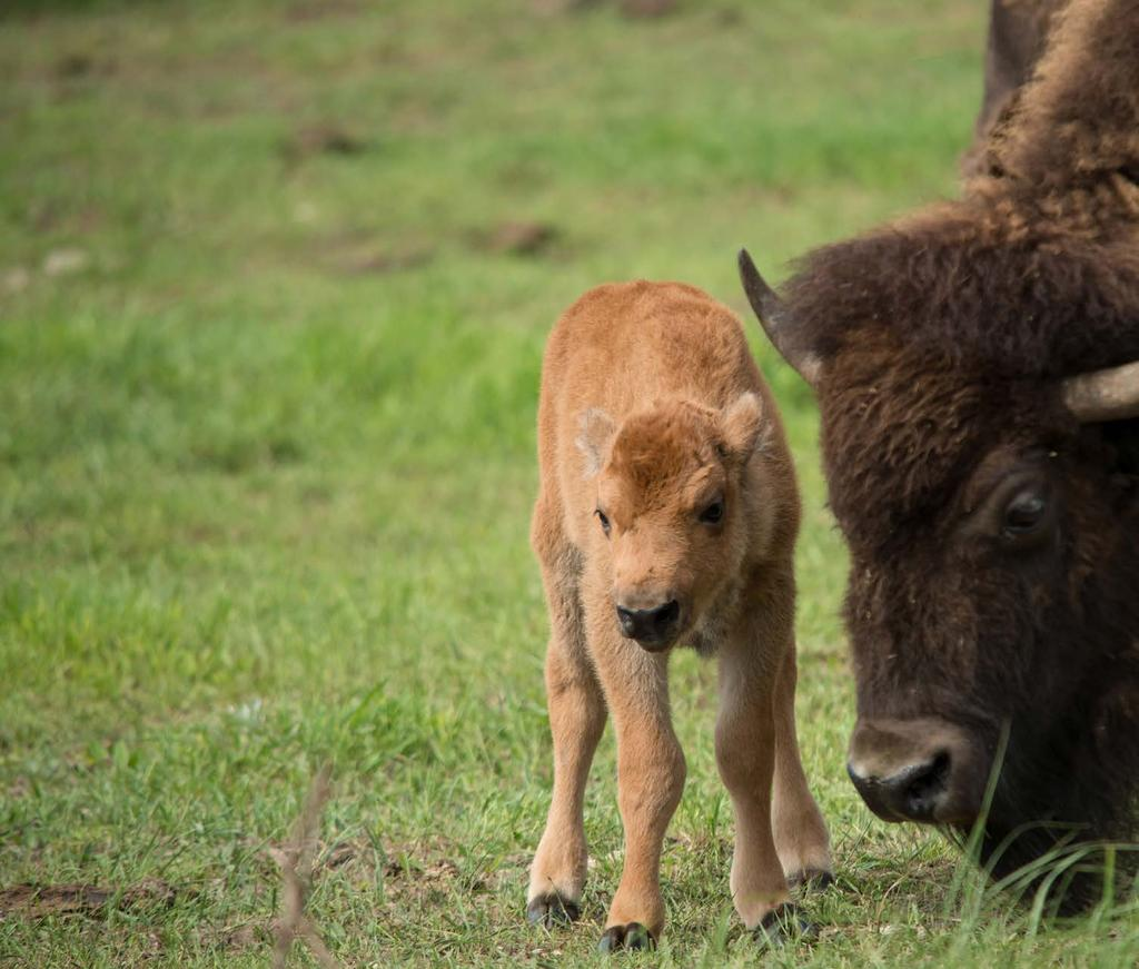 A BISON HERD WITH VALUABLE GENETICS THE LARAMIE FOOTHILLS BISON CONSERVATION HERD is one of few genetically pure American bison herds; most include some bison that